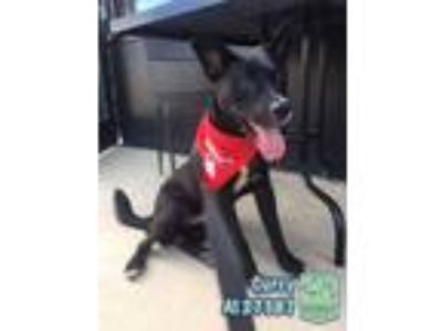 Adopt Curry a Black - with White Labrador Retriever / Terrier (Unknown Type