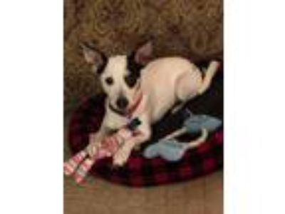 Adopt Dixie a Jack Russell Terrier, Rat Terrier