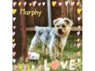 Adopt Murphy (Dallas) a Yorkshire Terrier