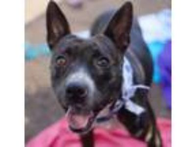 Adopt Pebbles a Black American Pit Bull Terrier / Mixed dog in Washington