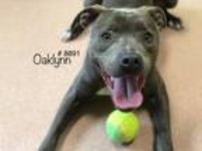 Adopt Oaklynn a Gray/Blue/Silver/Salt & Pepper American Pit Bull Terrier dog in