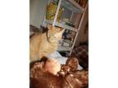 Adopt Julian a Orange or Red Tabby American Shorthair / Mixed cat in Colonial