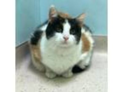 Adopt Lucy a Orange or Red Domestic Shorthair / Domestic Shorthair / Mixed cat
