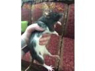 Adopt Samantha a Rat small animal in Oklahoma City, OK (25319980)