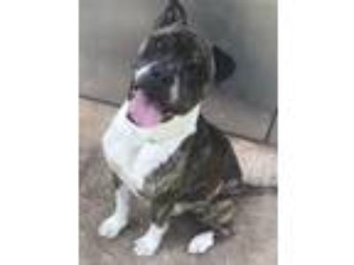Adopt Fred a Pit Bull Terrier, Mixed Breed