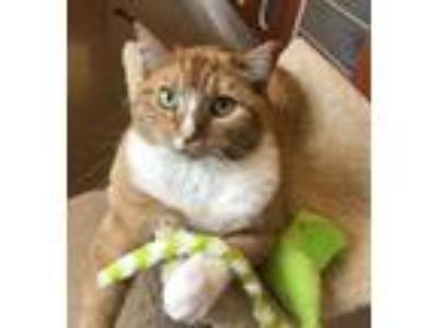 Adopt Wilma a Orange or Red Domestic Shorthair / Domestic Shorthair / Mixed cat