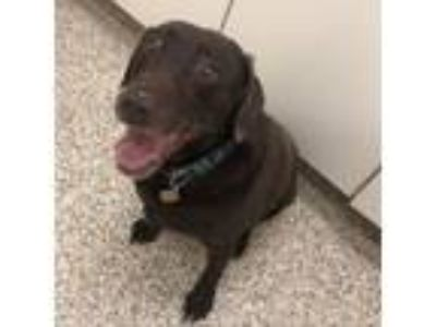 Adopt Dutchess a Chocolate Labrador Retriever