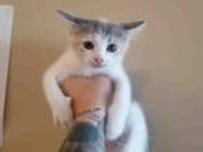 Adopt ETHEL a Calico or Dilute Calico Domestic Shorthair / Mixed (short coat)