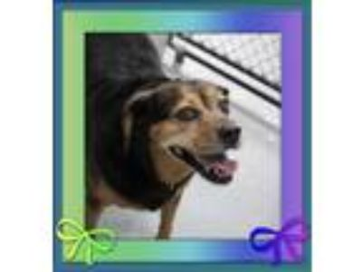 Adopt Baby Girl a Beagle / Mixed dog in Raleigh, NC (25319979)
