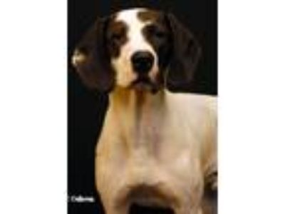 Adopt Patches a White - with Black Pointer / Mixed dog in Newland, NC (23403714)