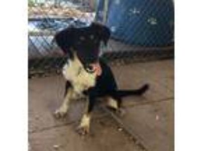 Adopt Pepsi a Tricolor (Tan/Brown & Black & White) Border Collie / Labrador
