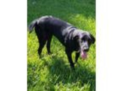 Adopt Ariel a Black Labrador Retriever