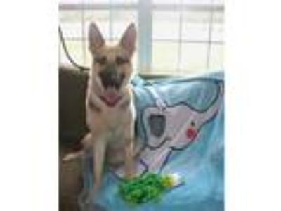 Adopt Cassie-AKC REGISTERED/ ONLY PET PLEASE a German Shepherd Dog