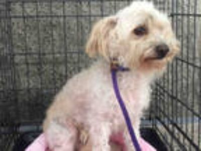 Adopt a White Poodle (Miniature) / Mixed dog in Long Beach, CA (25820445)