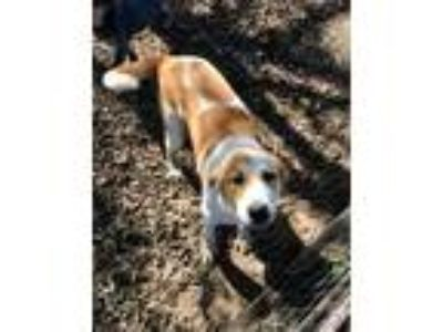 Adopt Cooper a Hound (Unknown Type) dog in Peyton, CO (23766154)
