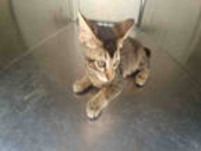 Adopt QUEEN* a Brown Tabby Domestic Shorthair / Mixed (short coat) cat in