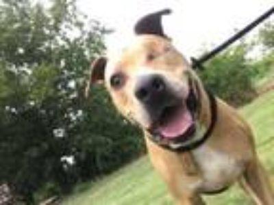 Adopt Abigail a Labrador Retriever, Pit Bull Terrier