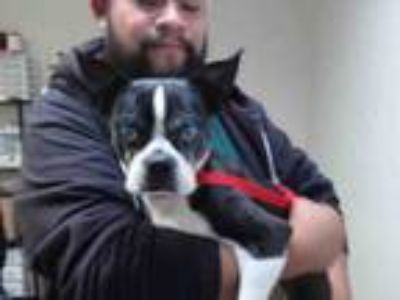 Adopt A476334 a Boston Terrier