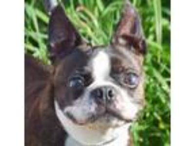 Adopt Willy a Black - with Brown, Red, Golden, Orange or Chestnut Boston Terrier