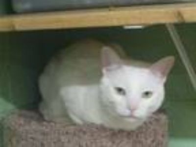 Adopt Ghost a Domestic Short Hair