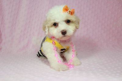 Little Maltipoo Puppies in Las Vegas!