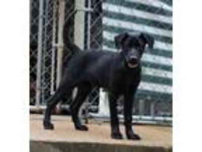 Adopt 190504 Dude a Black Labrador Retriever / Shepherd (Unknown Type) / Mixed