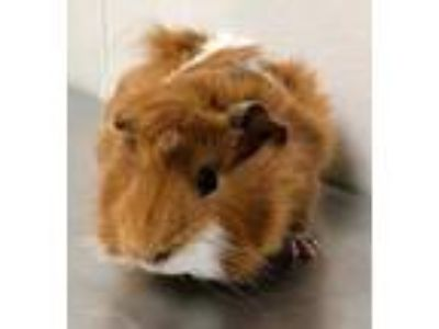 Adopt 41606920 a Red Guinea Pig / Mixed small animal in Bryan, TX (25198548)