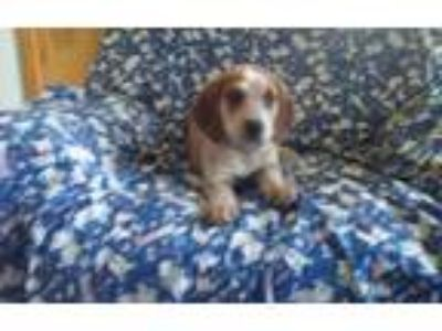Adopt Cinnamon a Merle Bluetick Coonhound / Australian Cattle Dog / Mixed dog in