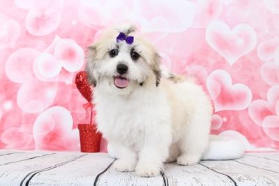 Zuchon PUPPY FOR SALE ADN-70523 - Trixie Really Pretty Female Teddy Bear Puppy