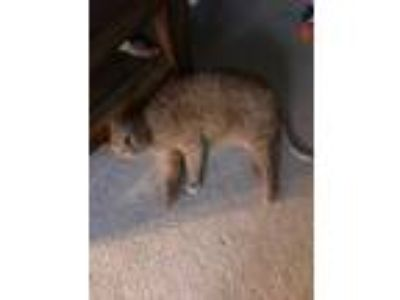 Adopt Pinky a Orange or Red Tabby American Shorthair cat in Ellisville