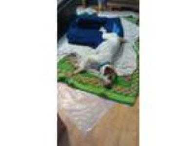 Adopt Marina a White - with Brown or Chocolate Pointer / Coonhound (Unknown