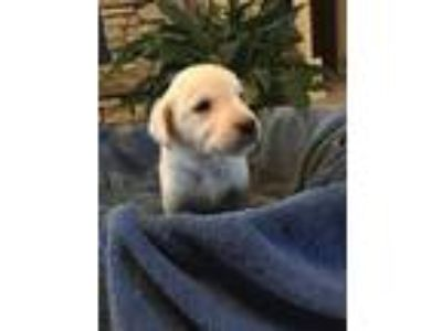 Cream White and Yellow English Labrador Retriever Pups Available Now