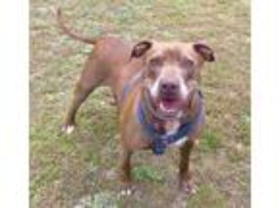 Adopt Dani a Red/Golden/Orange/Chestnut Pit Bull Terrier / Mixed dog in