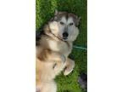 Adopt Chaley a Red/Golden/Orange/Chestnut - with White Alaskan Malamute / Mixed