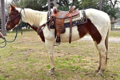 AWESOME RIDING HORSE, GREAT ON TRAILS  ARENA