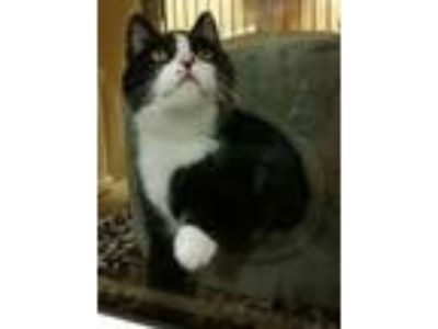Adopt Raven - VERY SHY!! a Domestic Short Hair