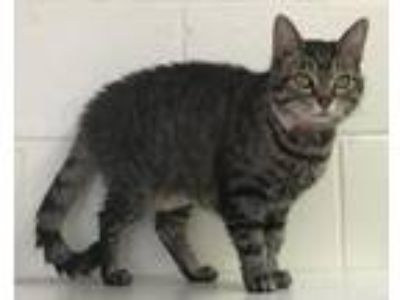 Adopt Lilly Pad a Domestic Short Hair