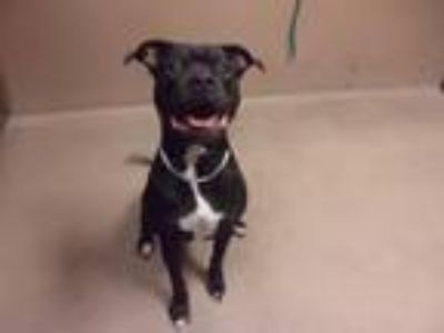 Adopt Zoe a Pit Bull Terrier, Boxer