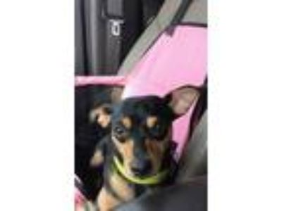 Adopt VC a Black - with Tan, Yellow or Fawn Manchester Terrier / Mixed dog in