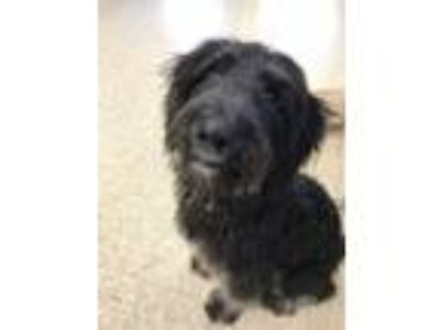 Adopt Curtis a Schnauzer, Poodle
