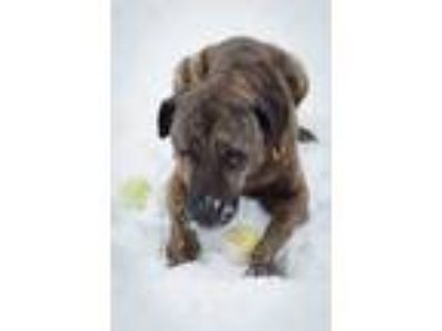Adopt Diago a Brindle Mixed Breed (Large) / American Pit Bull Terrier / Mixed