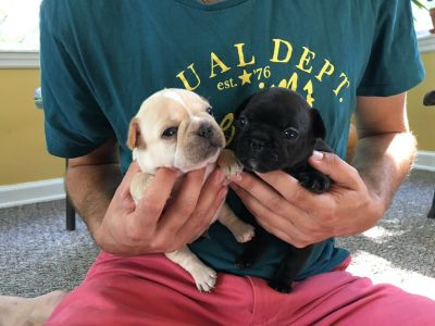 French Bulldog PUPPY FOR SALE ADN-93462 - AKC Frenchie Pups