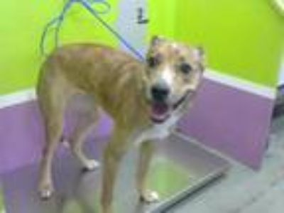 Adopt NOLA a Greyhound, Mixed Breed