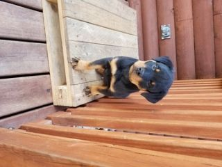 Rottweiler PUPPY FOR SALE ADN-58400 - AKC Champion Line Rottweilers  1 Boy 1 Girl