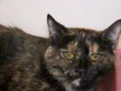 Adopt Esperanza a Domestic Short Hair, Tortoiseshell