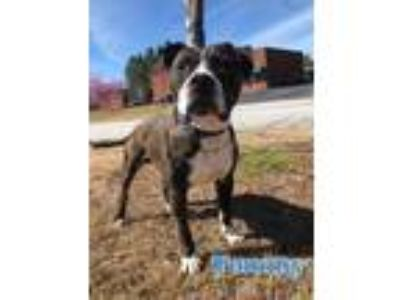 Adopt Tommy a Brindle - with White American Pit Bull Terrier / Mixed dog in