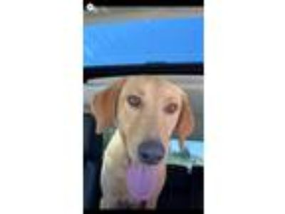 Adopt Mary Kate a Labrador Retriever