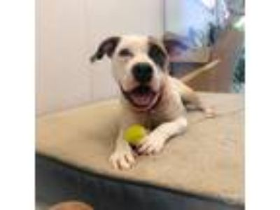 Adopt Bella a Tan/Yellow/Fawn Terrier (Unknown Type, Small) / Mixed dog in