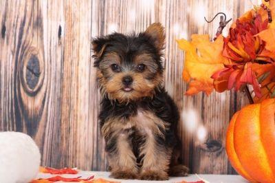 Yorkshire Terrier PUPPY FOR SALE ADN-98795 - Marley Little Sweet Male Yorkie Puppy