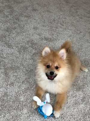 Pomeranian PUPPY FOR SALE ADN-78096 - Beautiful 5 months old puppy